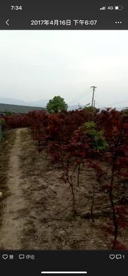 浙江省温州市乐清市赤枫 红枫,鸡爪槭,,