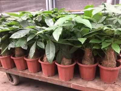 广东省广州市荔湾区盆栽发财树 规格:250盆