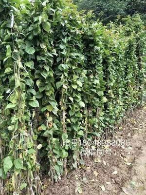 四川省宜宾市翠屏区大红三角梅 0.5~1.0米