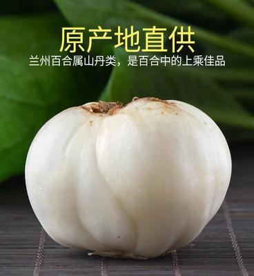 甘肃省兰州市城关区兰州百合 5cm以上
