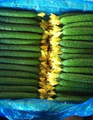 这是一张关于油亮密刺黄瓜 混装通货 的产品图片