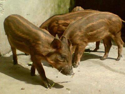 辽宁省铁岭市开原市改良野猪 统货 200-300斤