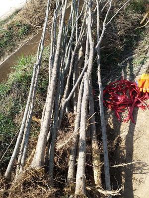 陕西省渭南市临渭区皂角树 5万余棵、杆直、