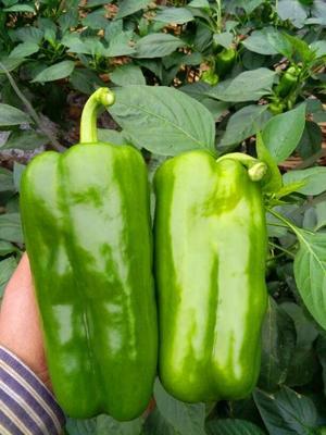 这是一张关于太空椒 甜辣 靑色 太空椒 圆椒 王燕堂的产品图片