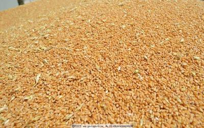 河南省商丘市虞城县混合小麦