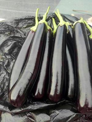 山东省聊城市莘县紫长茄 长茄 长茄原产地,价格很低