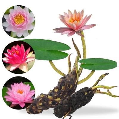 这是一张关于睡莲 的产品图片