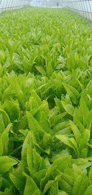江苏省南通市海门市小青菜 15~20cm