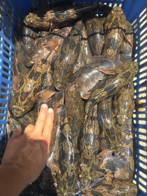 海南省海口市美兰区笋壳鱼 野生 0.5公斤以下