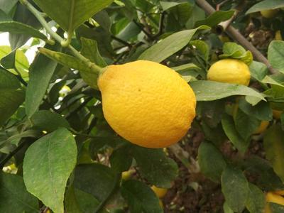 山东省滨州市惠民县尤力克柠檬 3.3 - 4.5两