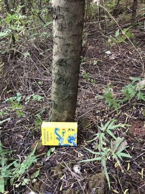 广西壮族自治区南宁市横县南方红豆杉 2.0~2.5米