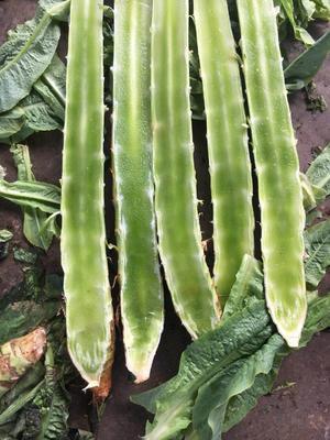 江苏省苏州市虎丘区红尖叶莴苣 2斤以上 40-50cm