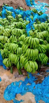 云南省文山壮族苗族自治州文山市河口香蕉 七成熟