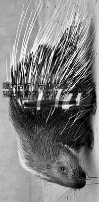 福建省福州市连江县中华豪猪 20-30斤