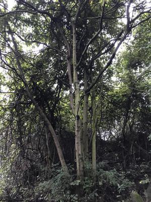 广西壮族自治区柳州市柳江县丛生朴树