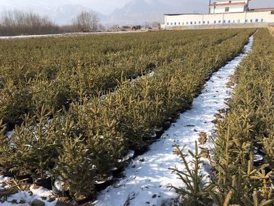 这是一张关于青海云杉 杯苗21x21的产品图片