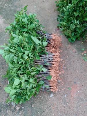 云南省昆明市呈贡区中国红三角梅 0.2~0.5米 紫色三角梅