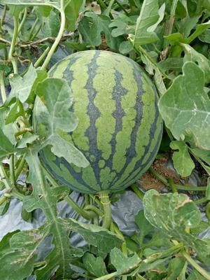 海南省陵水黎族自治县陵水黎族自治县美都西瓜 8斤打底 1茬 9成熟 有籽
