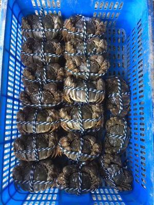 湖北省荆州市洪湖市洪湖螃蟹 2.0-2.5两 统货