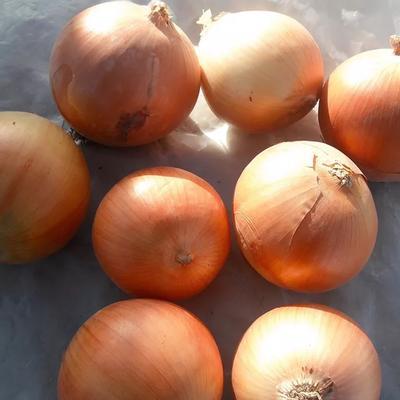 黑龙江省齐齐哈尔市龙沙区黄皮洋葱 混装通货