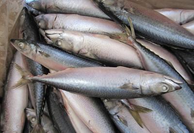 浙江省台州市黄岩区青占鱼 0.5公斤以下 野生