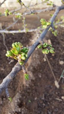 这是一张关于大樱桃 15-20mm 12-15g 的产品图片