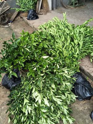 这是一张关于塔罗科血橙苗 嫁接苗 0.5~1米 的产品图片