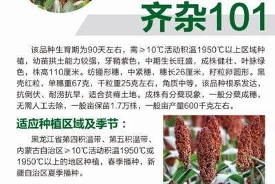 黑龙江省哈尔滨市道里区齐杂107 杂交种 ≥80%
