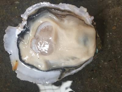 这是一张关于湛江牡蛎 野生 4-5两/只 的产品图片