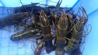 广东省惠州市博罗县澳洲淡水小龙虾 9钱以上 塘虾