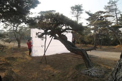 山东省泰安市泰山区造型松树
