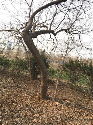 这是一张关于五角枫 的产品图片