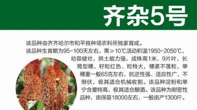 黑龙江省哈尔滨市道里区齐杂5 杂交种 ≥80%