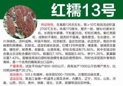 黑龙江省哈尔滨市道里区红糯13高粱种子 杂交种 ≥80%