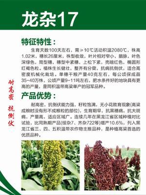 黑龙江省哈尔滨市道里区龙杂17 杂交种 ≥80%