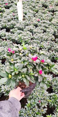 广东省广州市花都区杨梅红杜鹃 0.5米以下