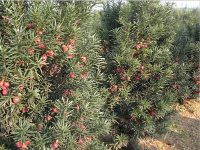 山东省临沂市罗庄区曼地亚红豆杉 1~1.5米