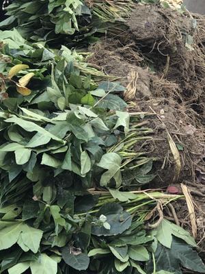 这是一张关于八角金盘小苗 的产品图片