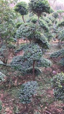河南省信阳市潢川县小叶女贞造型树 真正的造型基地直销