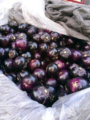 这是一张关于紫光圆茄 圆茄 山东莘县吴永瑞最顺心的产品图片
