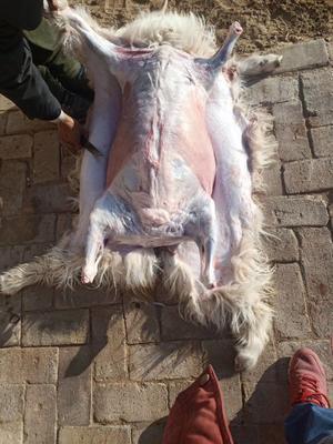 甘肃省庆阳市环县羊肉类 生肉