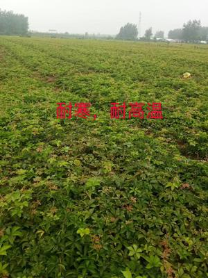江苏省宿迁市沭阳县爬山虎 1公分以下 1~1.5米
