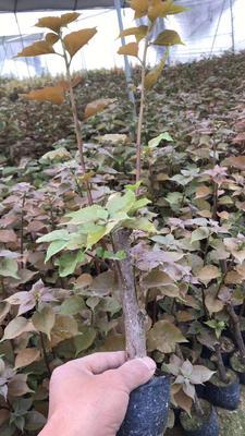 福建省漳州市龙海市中国红三角梅 0.2~0.5米