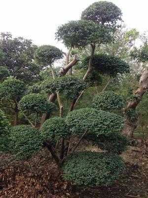河南省信阳市潢川县小叶女贞造型树 造型小叶女贞基地直供