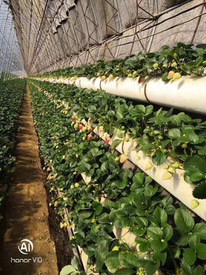 辽宁省大连市瓦房店市九九草莓 30克以上