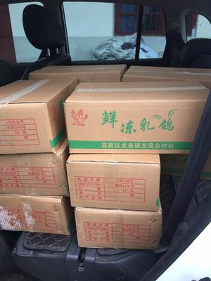 四川省南充市嘉陵区乳鸽 冷冻 鲜冻乳鸽