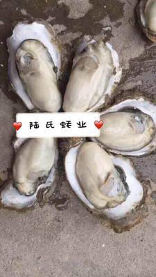 广东省湛江市霞山区湛江牡蛎 4-5两/只 野生