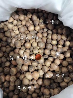 辽宁省铁岭市西丰县榛子 6-12个月 散装