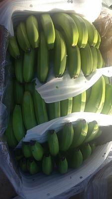 云南省普洱市江城哈尼族彝族自治县巴西香蕉 七成熟