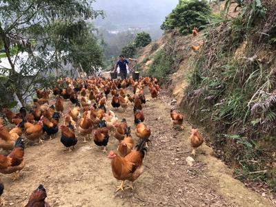 广东省阳江市阳春市土鸡 3-4斤 统货